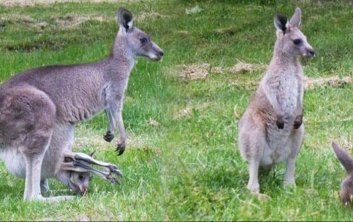 Kangaroos Anglesea
