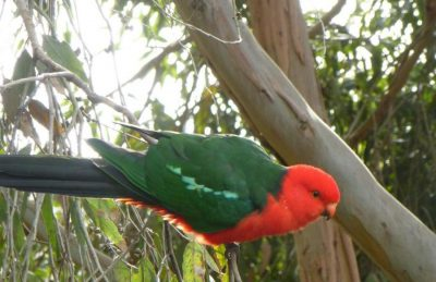 King-Parrot-Great-Ocean-Road-Australia